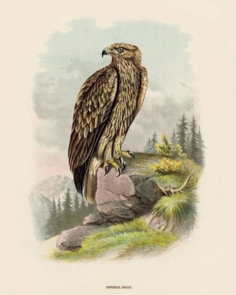 Fine Art Print of the Imperial Eagle by O V Riesenthal (1876)